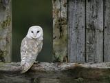 Barn Owl, in Old Farm Building Window, Scotland, UK Cairngorms National Park Kunst på metall av Pete Cairns
