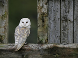 Barn Owl, in Old Farm Building Window, Scotland, UK Cairngorms National Park Konst på metall av Pete Cairns