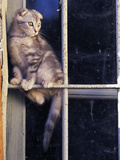 Scottish Fold Cat Balanced on Window Bar, Italy Metal Print by Adriano Bacchella