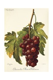 Chasselas Rose Salomon Grape Giclee Print by A. Kreyder