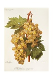 Madeleine Angevine Grape Giclee Print by A. Kreyder