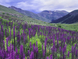 Wildflowers in Alpine Meadow, Ouray, San Juan Mountains, Rocky Mountains, Colorado, USA Metal Print by Rolf Nussbaumer