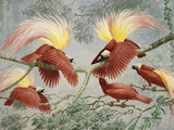 Four Rival Male Greater Birds of Paradise Vie for Female's Attention Reproduction sur métal par Walter Weber