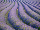 Lavender Field, Provence-Alpes-Cote D'Azur, France Metal Print by Doug Pearson