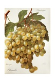 Citronelle Grape Giclee Print by A. Kreyder