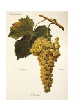 Amigne Grape Giclee Print by A. Kreyder