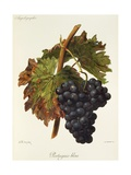 Portugais Bleu Grape Giclee Print by A. Kreyder