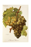 Muscat Pearson Grape Giclee Print by A. Kreyder