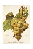 Blanc-Des-Trois-Fontaines Grape Giclee Print by A. Kreyder