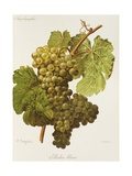 Aubin Blanc Grape Giclee Print by A. Kreyder