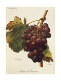 Santa Morena Grape Giclee Print by A. Kreyder