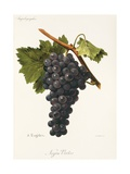 Negru Vertos Grape Giclee Print by A. Kreyder