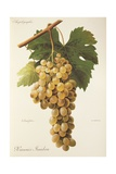 Himenes Jumbon Grape Giclee Print by A. Kreyder
