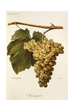 Humage Grape Giclee Print by A. Kreyder