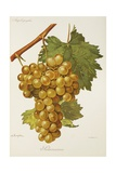 Salamanna Grape Giclee Print by A. Kreyder