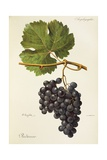 Piedirosso Grape Giclee Print by A. Kreyder