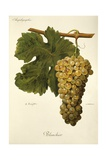 Blanchier Grape Giclee Print by A. Kreyder