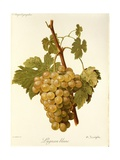 Lignan Blanc Grape Giclee Print by A. Kreyder