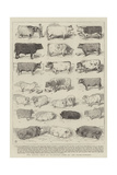The Cattle Show at Islington, Some of the Prize-Winners Giclee Print by Alfred Chantrey Corbould