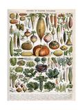 Illustration of Vegetable Varieties, C.1905-10 Giclée-tryk af Alillot