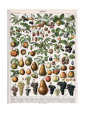 Illustration of Fruit Varieties, C.1905-10 Giclee Print by  Alillot
