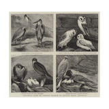 Specimens from Mr Booth's Museum of British Birds, Brighton Giclee Print by Alfred Chantrey Corbould