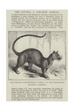 The Foussa (Cryptoprocta Ferox), at the Zoological Society's Gardens Giclee Print by Alexander Francis Lydon