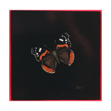 Red Admiral Butterfly, 2001 Giclee Print by Amelia Kleiser