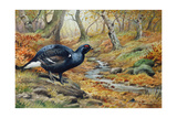 Black Cock Grouse by a Stream Giclee Print by Carl Donner