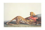 Long-Tailed Dasyure of New South Wales Giclee Print by Charles Alexandre Lesueur