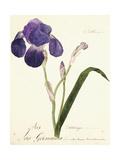 German Iris; Iris Germanica, C. 1815-1851 Giclee Print by Capitaine Pelletier