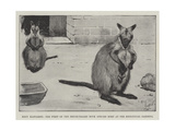 Baby Kangaroo, the First of the Brush-Tailed Rock Species Born at the Zoological Gardens Giclee Print by Cecil Aldin