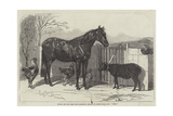 Russian Pony and Sheep from Bomarsund, Brought by Captain Hall, HMS Hecla Giclee Print by Benjamin Herring