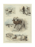 Some Scenes in the Life of Sutherland, Our Tame Stag Giclee Print by Charles Burton Barber
