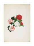Common Camellias (Camellia Japonica) Giclee Print by Clara Maria Pope