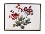 Auricula, C.1690 Giclee Print by Claude Aubriet