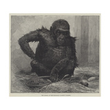 The Gorilla at the Zoological Society's Gardens Giclee Print by Charles Whymper