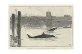 The Grampus in the Thames on Tuesday Last, Sketched Off Chelsea Giclee Print by Davidson Knowles