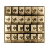 Image Sequence of an Ostrich Running, 'Animal Locomotion' Series, C.1887 Giclee Print by Eadweard Muybridge