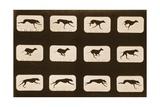 Image Sequence of Running Greyhounds, 'Animal Locomotion' Series, C.1881 Impressão giclée por Eadweard Muybridge
