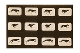 Image Sequence of Running Greyhounds, 'Animal Locomotion' Series, C.1881 Lámina giclée por Muybridge, Eadweard