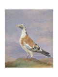 Grizzle Carrier Pigeon Giclee Print by D. the Younger Wolstenholme