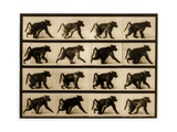 Image Sequence of a Baboon Running, 'Animal Locomotion' Series, C.1887 Giclee Print by Eadweard Muybridge