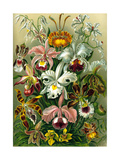 Different Varieties of Orchid, 1899 Giclee Print by Ernst Haeckel