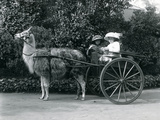 Three Visitors, Including Two Young Girls, Riding in a Cart Pulled by a Llama, London Zoo, C.1912 Photographic Print by Frederick William Bond