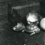 A Newly Hatched Grooved or African Spurred Tortoise at London Zoo, July 1922 Photographic Print by Frederick William Bond