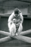 A Capped Langur Holding Baby While Sitting on a Beam. London Zoo, 6th October 1913 Giclee Print by Frederick William Bond