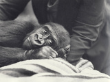 Young Gorilla 'John David' Aged 5 Years Being Held by a Keeper on a Blanket at London Zoo Photographic Print by Frederick William Bond
