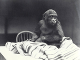 Young Gorilla 'John David' Photographic Print by Frederick William Bond