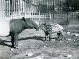 Young Malayan Tapir with its Mother at London Zoo, 5th October 1921 Photographic Print by Frederick William Bond